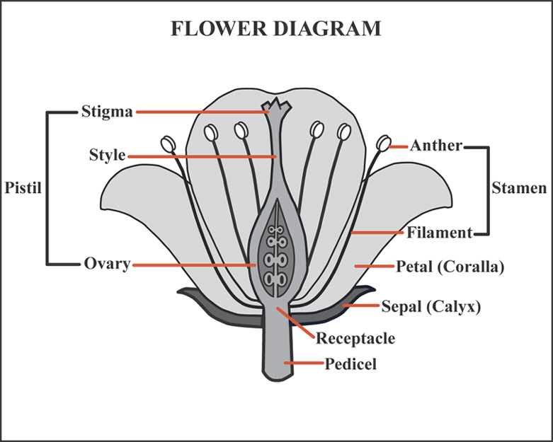 Rose Flower Diagram Diagram Of Flower Parts